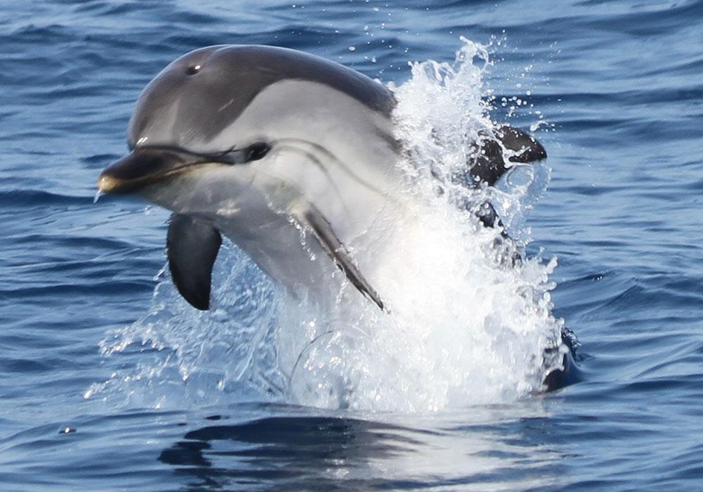 Delfín listado saltando foto de Marina Blue
