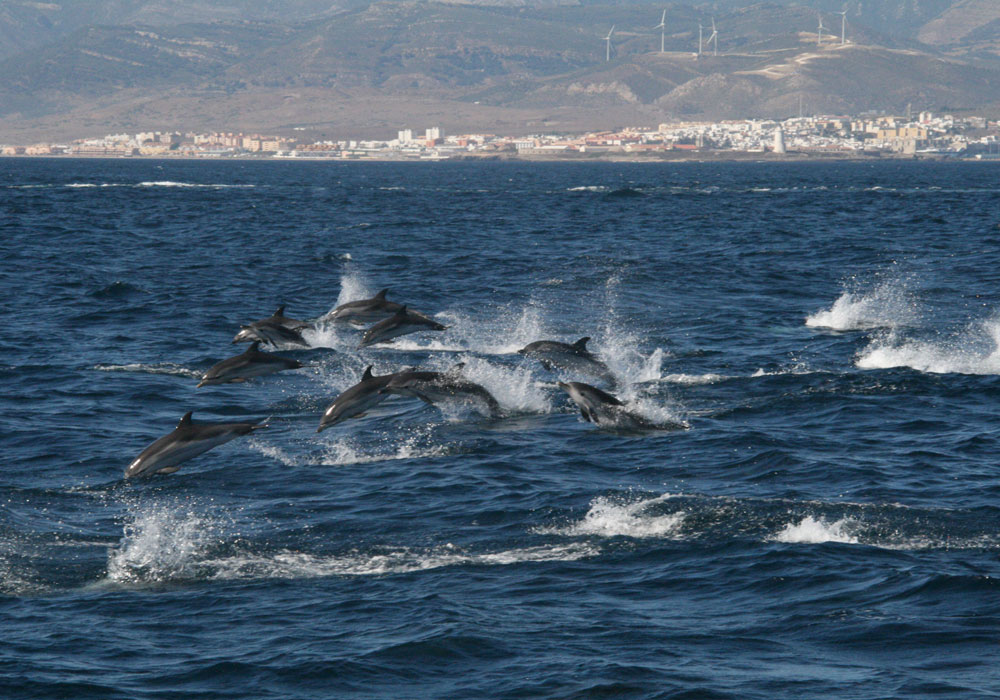 Delfines listados en Tarifa