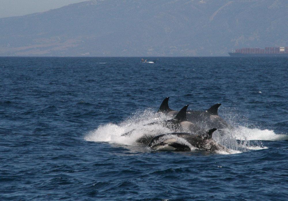 Orcas en formación abanico