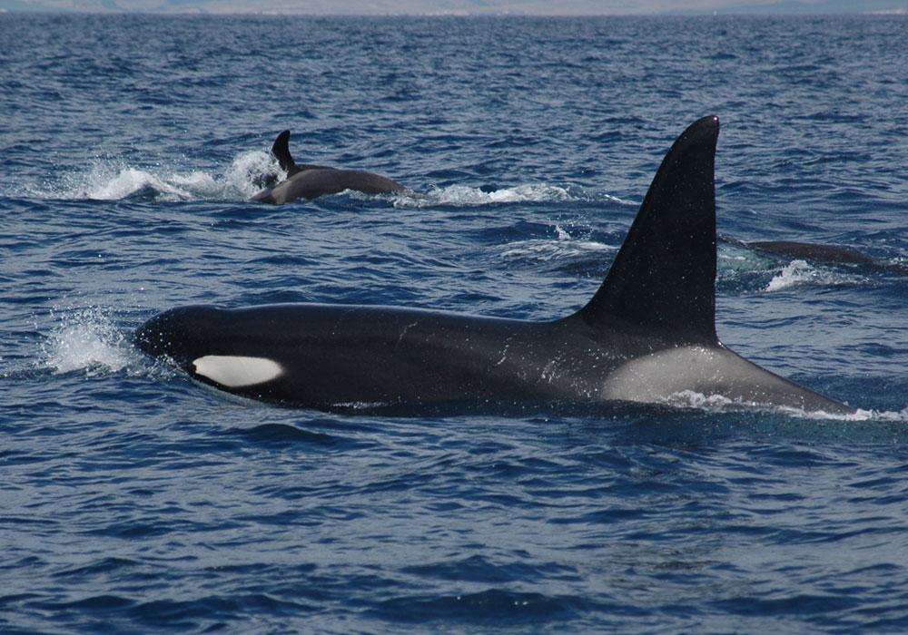 Macho de Orca con su familia