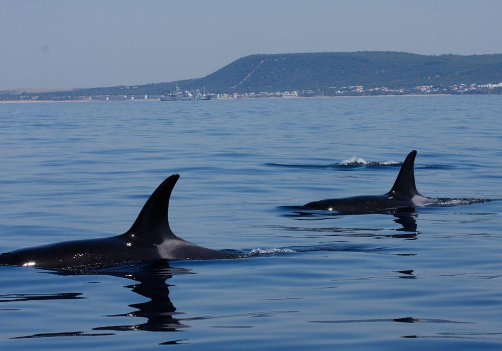 Grupo de orcas en Barbate