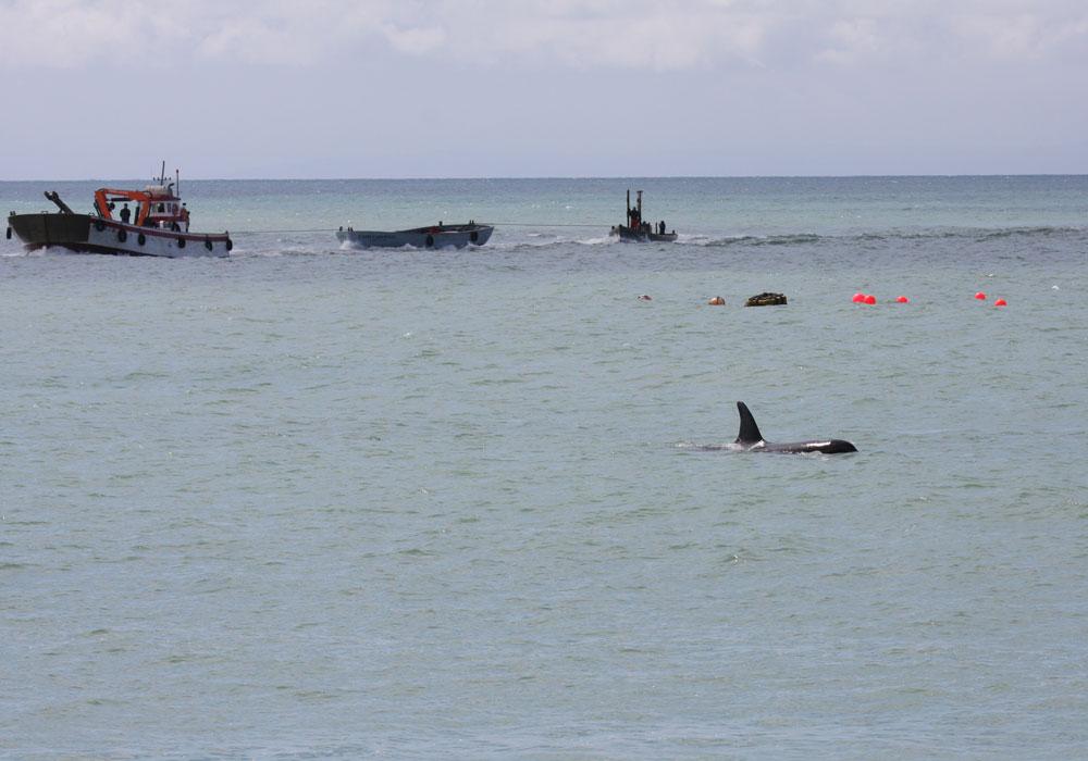 Orca en almadraba de Barbate