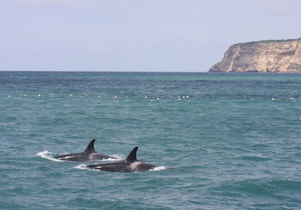 Dos orcas junto almadraba de Barbate