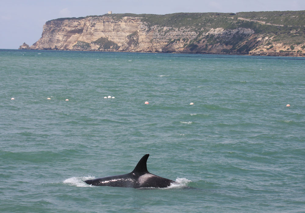 Orca en el Acantilado de las Breñas