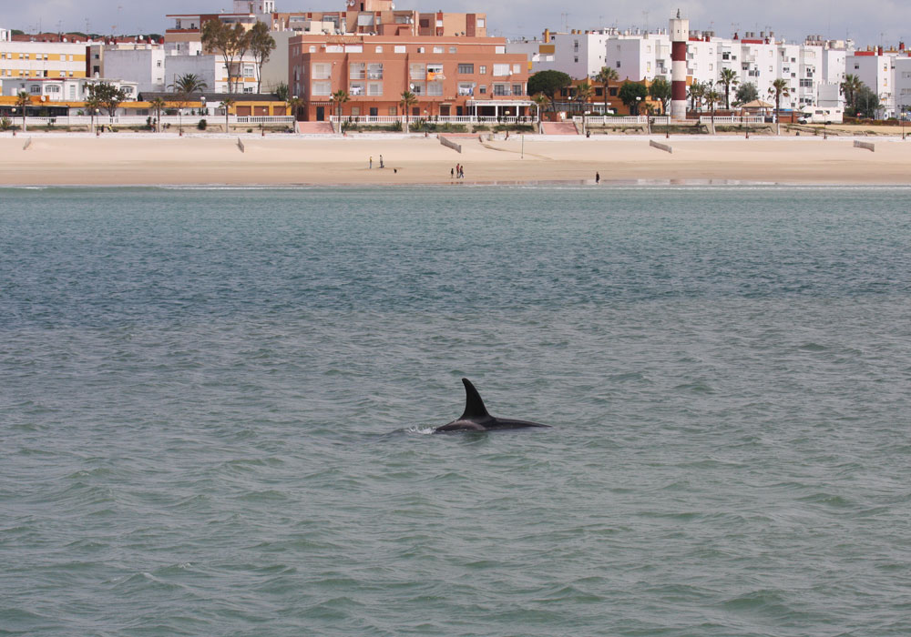 Orca en la playa de Barbate