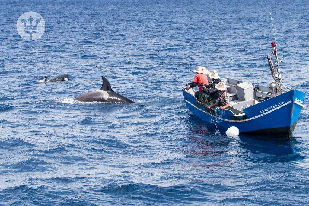 Pescadores tradicionales marroquíes pescando atunes rodeados de orcas, foto de Marina Blue Avistamientos