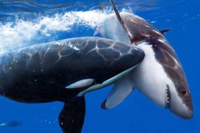 orca atacando a tiburón